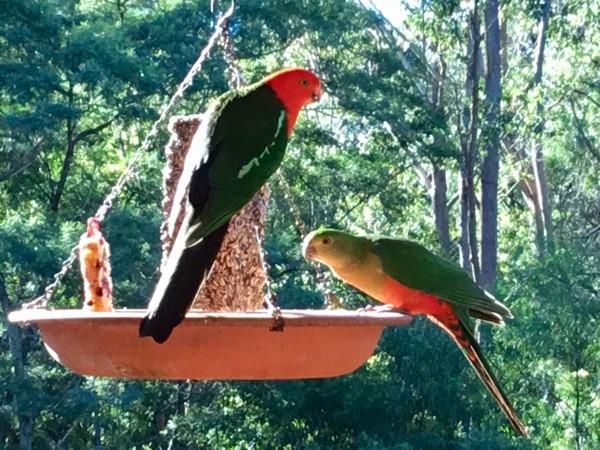 Australian king parrots on balcony