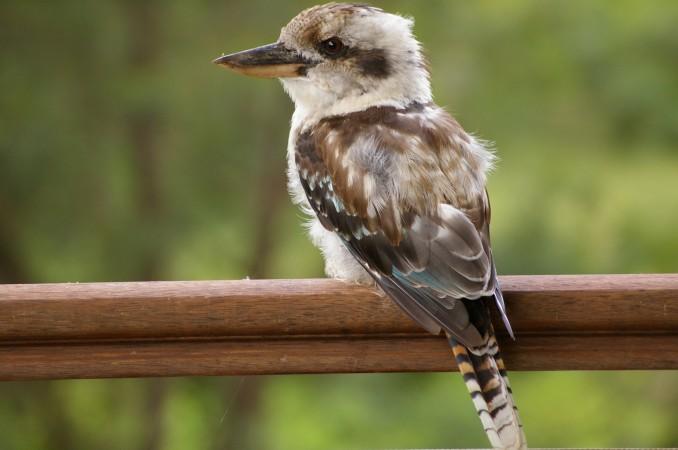 Kookaburras on balcony