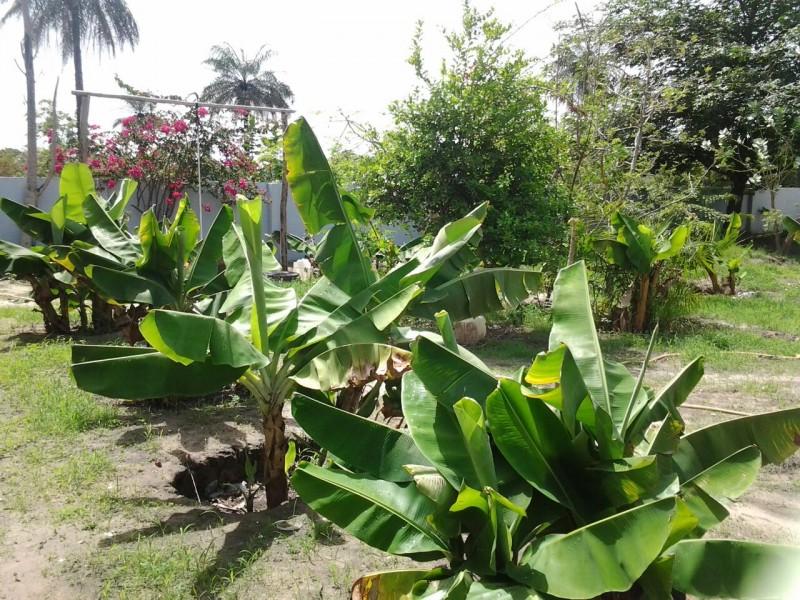 Farming bananas